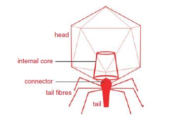 Phage T7