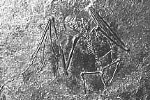 Palaeochiropteryx tupaiodon