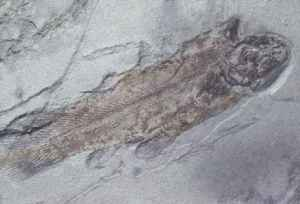 fossil coelacanth