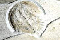 Fossil Horseshoe crab