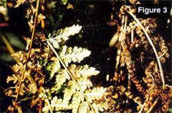 Fern figure 3