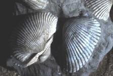 Απολιθωμένα δίθυρα Αναδαρα