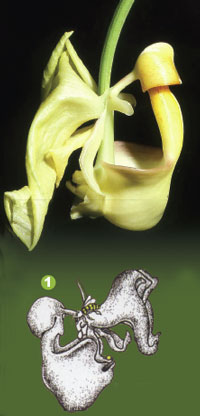 Bees become attracted to the flower of the Coryanthes orchid.
