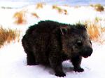 Australian marsupial wombat