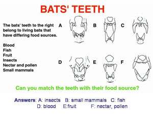 Bat teeth