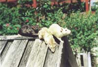 A black rat with two white rats