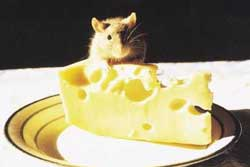 A cute rat perched on a wedge of Swiss cheese