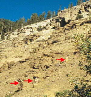 The arrows indicate some of the visible stumps on this hillside at Specimen Creek. Although they look as if they grew in these positions, the evidence indicates otherwise.