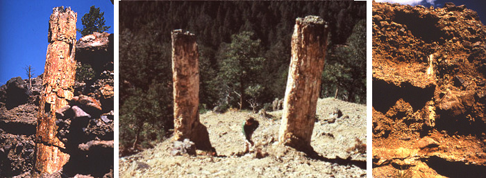 Yellowstone petrified trees