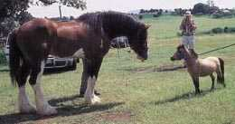 Huge Clydesdale draughthorse facing a tiny miniature horse