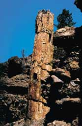 Fossilized tree in Yellowstone National Park (photo de Clyde Webster)
