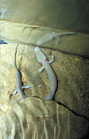 Cave olm