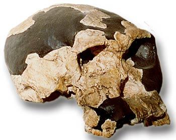 Homo habilis skull