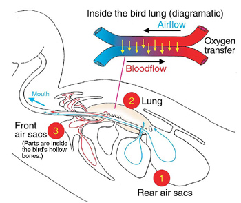 Inside the bird lung