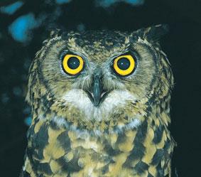 adam-owl