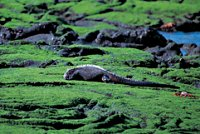 Marine iguana eating algae