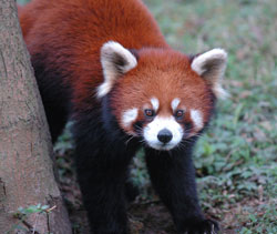 red panda, i stock image