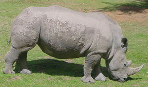 African rhinos look smooth-skinned
