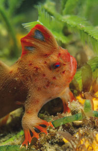 The red handfish