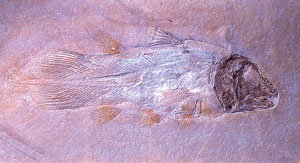 resurect coelacanth fossil