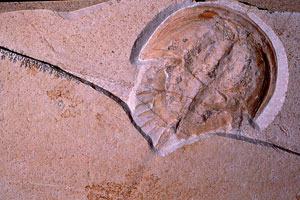 Fossil Limulus from Solnhofen limestone