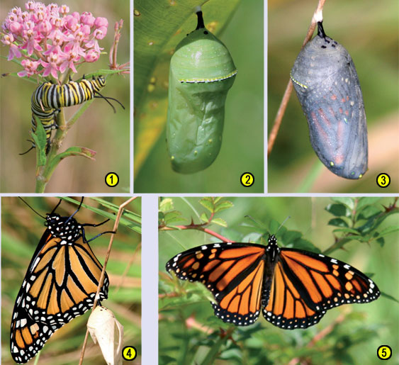 Stages of Monarch butterfly