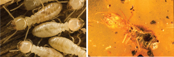 Fossil termites (genus Mastotermes) found in amber, allegedly 20 million years old, are so well preserved that researchers could identify that the bacteria in the termites' digestive system are just the same sorts of bacteria as those found inside Mastotermes termites living today.  Generations aplenty—yet no evolution.