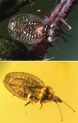 Lace bugs (Tingidae) alive today in Europe (top) are just the same as those found in Caribbean amber (bottom) dated as being millions of years old. These and other 'living fossils' present a conundrum to evolutionists. Why no evolution in all that (supposed) time?