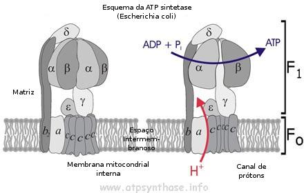 Figura 1. Toda a maquinaria da ATP sintase com subunidades protéicas, feitas individualmente, estão nomeadas com letras gregas. Íons de H+ (prótons) fluem através de um túnel especial na ATP sintase, identificado na figura como 'canal de prótons'. Isso induz o movimento mecânico, forçando o eixo e a base a girarem juntos, como uma turbina. Aproximadamente 100% do momento giratório é convertido em energia química na formação das moléculas de ATP! A cada 10 prótons, três ATPs são produzidos. Figura de <http://www.atpsynthase.info/images/ATP_synthesis1.jpg>. Acesso em 18 set 2009.