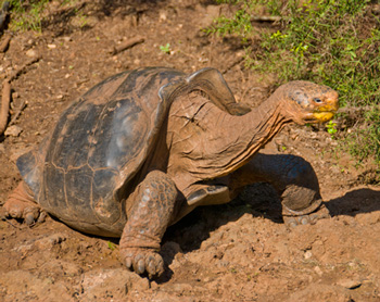 Tortoise of the Galapagos