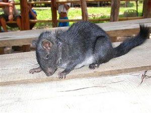 The Laotian rodent Laonastes aenigmamus