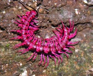 A hot-pink, spiny dragon millipede Desmoxytes purpurosea