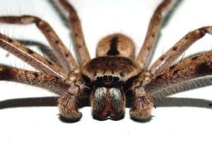 The world's largest huntsman spider is <em>Heteropoda maxima</em>