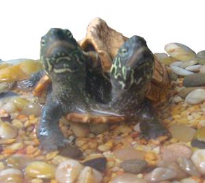 Mutant (non-ninja) turtle