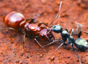 A slave-raiding ant (the red polyergus breviceps) with its slave Formica argentea.