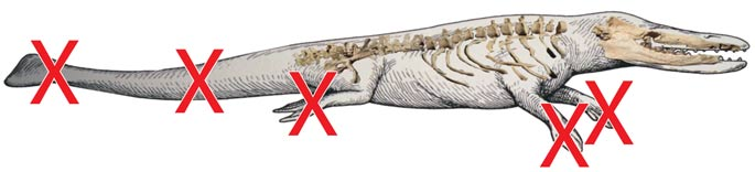 Rodhocetus at the Museum of Natural History, University of Michigan, USA. Fossil evidence overlaid on the museum's illustration from Dr Carl Werner, Evolution the Grand Experiment Vol. 1 DVD. Red Xs added to emphasize the imagination involved in the illustration.