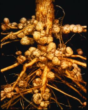 Soybean root nodules. These contain Rhizobium bacteria that take nitrogen from the air and make it available to plants for their nutrition.