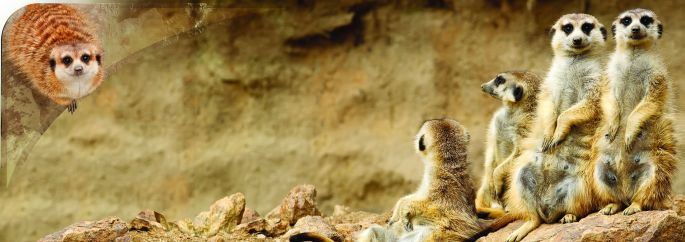A panorama of meerkats