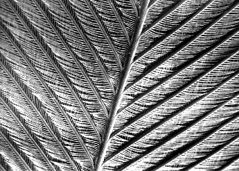 Feather — magnified 80 times