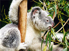 A koala eating gum leaves