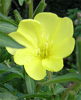A yellow evening primrose flower