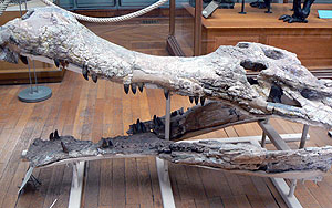 picture of a Sarcosuchus skull