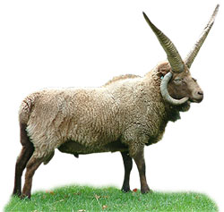 A four-horned Manx sheep
