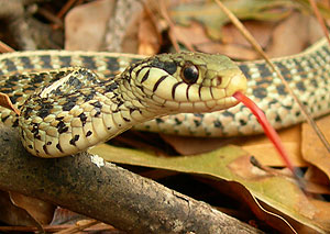 Snake with flickering tongue