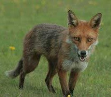 Can foxes and dogs interbreed?