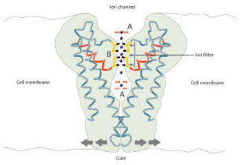 Potassium ion channel