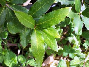A photo of living nightcap oak leaves