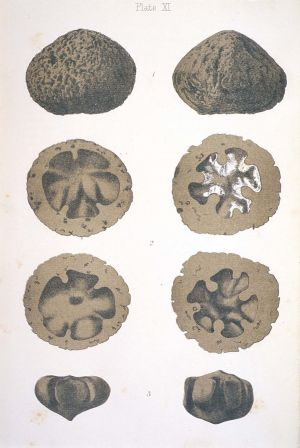 Sketches of two halves of a fossil nightcap oak seed