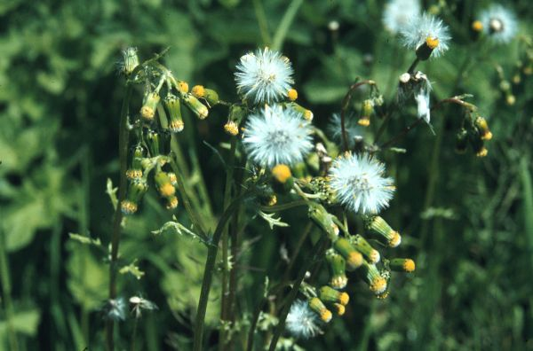 Picture of S. vulgaris, the common groundsel