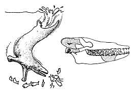 Pakicetus reconstruction and actual bones found